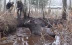 """Samica łosia wpadła w bagno. Uratowali ją leśnicy (""""Fakty po Południu"""")"""