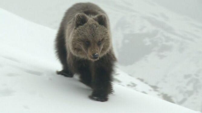 Niedźwiadek z Tatr z dala od turystów. Spróbuje żyć samodzielnie