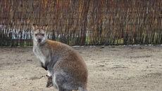 Kangurzyca z młodym