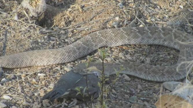 Tak wąż zjada przepiórkę: powoli łyka ją w całości
